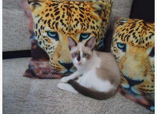 Котята породы Сноу Шу