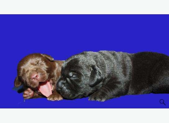 черные и коричневые щенки лабрадора