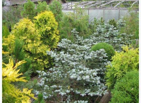 Хвойные растения в Москве фото 4