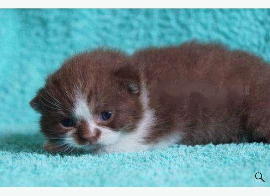 Котята британские в Новокузнецке Фото 2