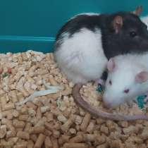 Отдам в добрые руки две крысы, девочки, в г.Ивацевичи