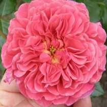 Саженцы роз ОПТОМ, в Челябинске
