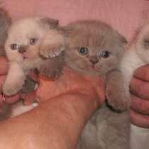 Шотландские котятки, в Москве
