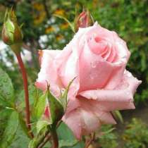 Саженцы роз, в Ростове-на-Дону