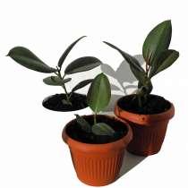 Домашнее растение фикус, в Челябинске