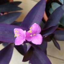 Сеткреазия пурпурная, в Севастополе