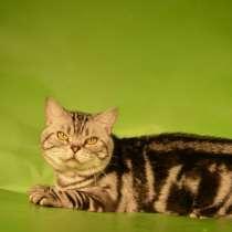 Кот на вязку 1500 котята от 2000, в Ярославле