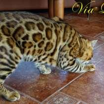 Бенгальские котята, в г.Днепропетровск
