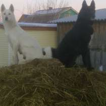 Продам охотничьих щенкоа, в Иркутске