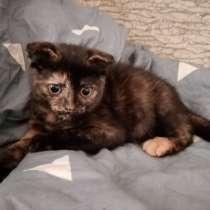 Продам Шотландских котят, в Волгограде
