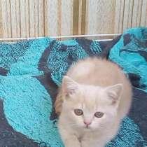 Продам шотландского котёнка, в Челябинске