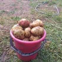 Продам картофель со своего участка. Хорошего качества, в Абакане