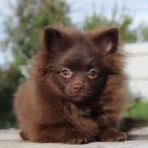 Pomeranian female, в г.Берлин