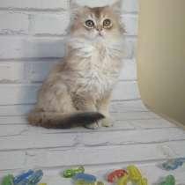 Продам котенка с родословной породы скотишь страйт, в г.Кутаиси
