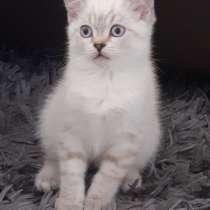 Британский котенок, в г.Berlin
