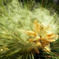 Сосновая пыльца сосны, в г.Минск