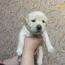 Продаются щенки лабрадора!, в Томске