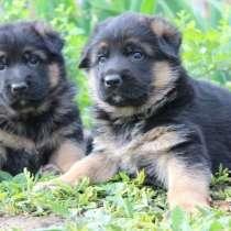 Предлагаются к продаже щенки немецкой овчарки!, в г.Бендеры