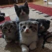 Продаю котят короткошорсные шотланцы, в г.Усть-Каменогорск