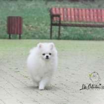 Want a white Pomeranian ?☁, в Туле