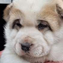 В первые в Эстонии порода собак Нагази. Хорошие охраники, в г.Кохтла-Ярве