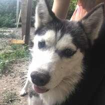 Пропала собака хаски, в г.Алматы