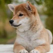 Продажа щенка сиба ину, в Иркутске