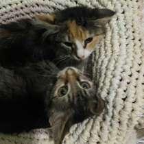 Котята в добрые руки. Пушистый Фунтик и нежная Олеся, в Москве