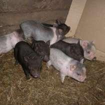 Поросята вьетнамской вислобрюхой свиньи, в Родниках