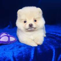 Шпица красивые щенки, в Фурманове