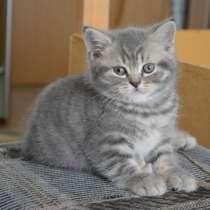Британские короткошерстные котята, в Нижневартовске