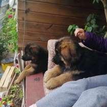 Высокопородные щенки немецкой овчарки, в г.Минск