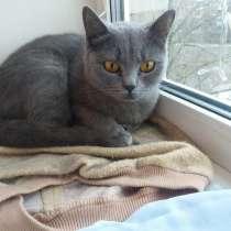 Отдам кошку голубая британка, в Костроме