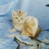 Котёнок шиншилла голубое золото, в Новороссийске