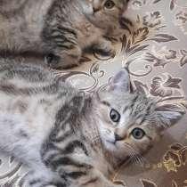 Шотландские котята, в Минеральных Водах
