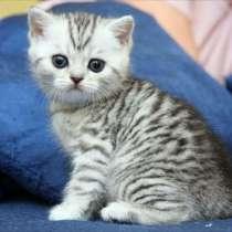 Шотландских породистых котят, в г.Витебск