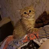 Продам дёшево чистокровного шотландского котёночка девочку, в Волоколамске