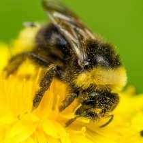Продам пчёлосемьи карпатки, в Сызрани