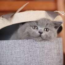Британские котята голубого окраса, купить, в Москве