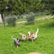 Australian Cattle Dog/ Австралийский Кеттл Дог, в г.Плунге