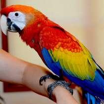 Красный ара (ara macao) - ручные птенцы из питомников Европы, в Москве