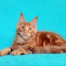 Котята мейн-кун из питомника, в Рязани