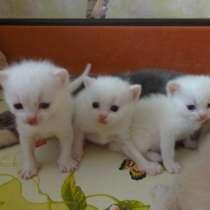 Котята от као мани и американки, в г.Мариуполь