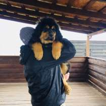 Продав щенка тибетского мастифа, в г.Киев