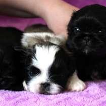 Продаются щенки пекинеса, в Хабаровске