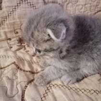 Котята 2 месяца веслоухие британцы, в Егорьевске