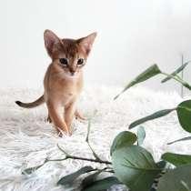 Абиссинские котята шоу- класс, в г.Осло