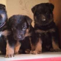 Продам щенков восточно-европейской овчарки, мальчики, в г.Тирасполь