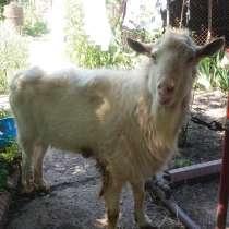 Продаётся козел, в г.Бишкек