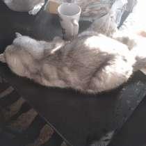Вязка кошки, в Искитиме